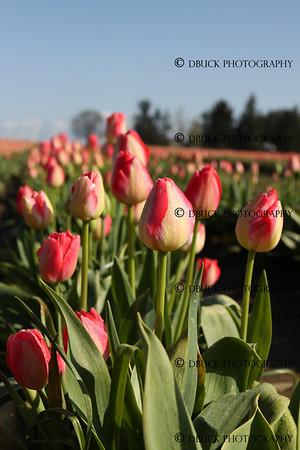 4-19-11 Wooden Shoe Tulip Festival