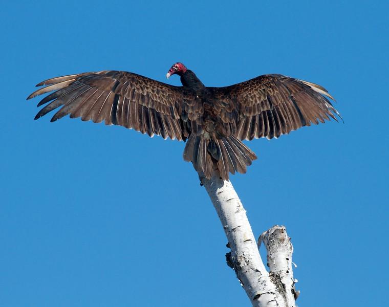 Turkey Vulture sun bathing wings spread Tofte dump Cook Co MN IMG_9670.jpg