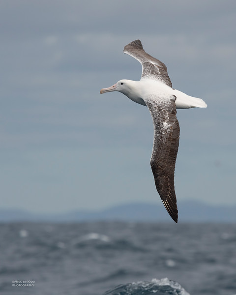 Southern Royal Albatross, Eaglehawk Neck Pelagic, TAS, Dec 2019-6.jpg