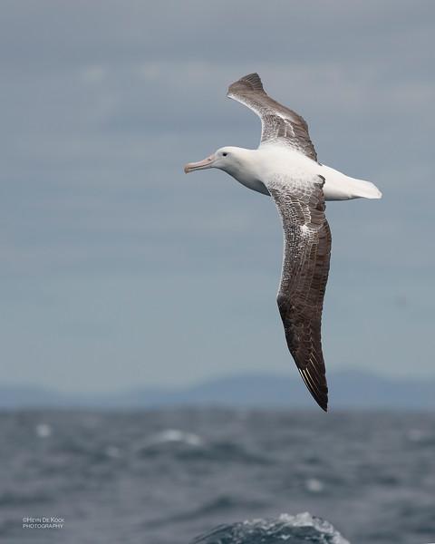 Southern Royal Albatross, Eaglehawk Neck Pelagic, TAS, Dec 2019-6.jpg