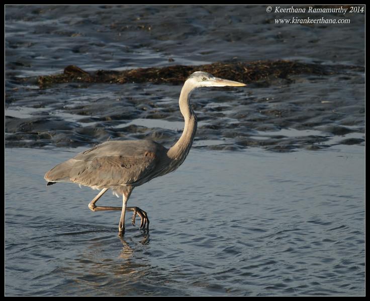 Great Blue Heron, Robb Field, San Diego River, San Diego County, California, February 2014