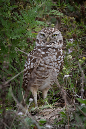 Sanibel Island Burrowing owls