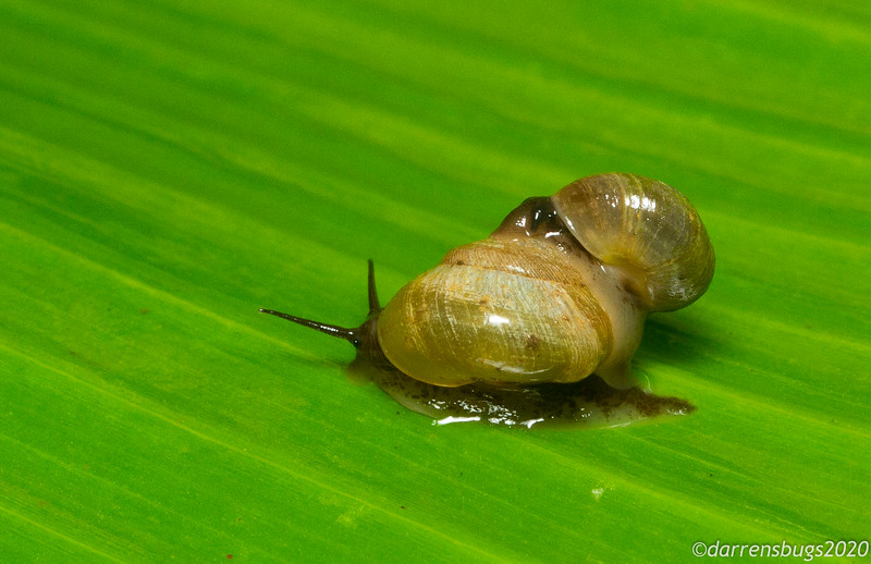"""A pair of romantically entangled land snails from Puerto Rico. Hermaphroditic snails such as these engage in elaborate courtships, including stabbing one another with """"love darts,"""" before mating."""