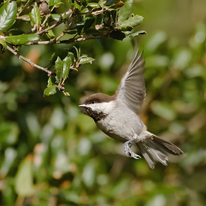 Chestnutbacked Chickadee