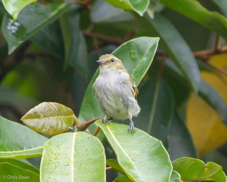 Choco Tyrannulet at Rio Silanche Reserve, Ecuador (03-04-2014) 027-8-Edit.jpg