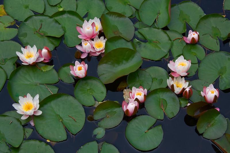 067-079 Water Lillies.JPG