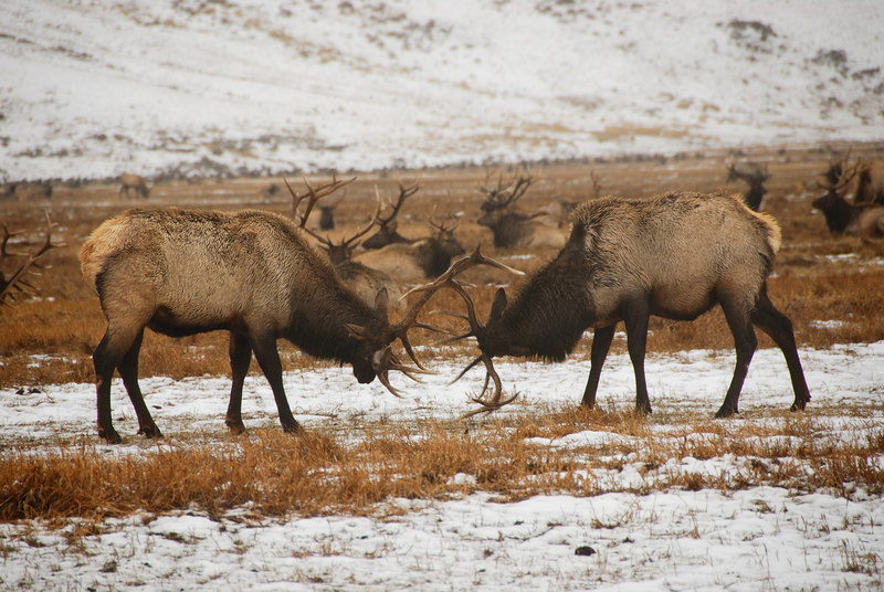 Elk playing   (Dec 13, 2006, 02:35pm)  Picture taken from a wagon (in the rain) at the National Elk Refuge in Jackson Hole.