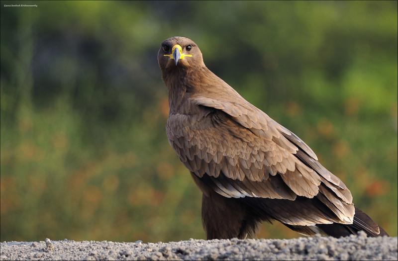 Steppe Eagle....