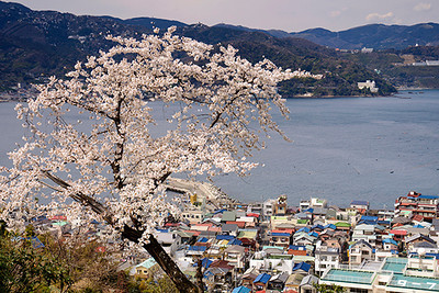Blooming cherry tree above the harbor of Ajiro.