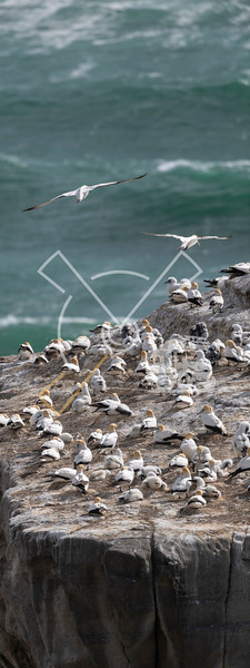 many nests of australasian gannet birds packed at the Muriwai gannet colony along the North Island coastline