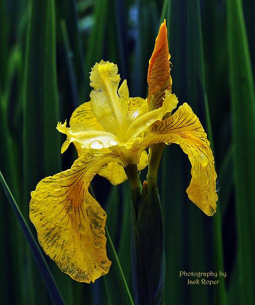 04-3 Iris .jpg