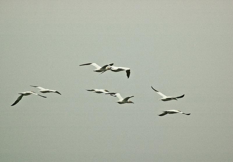 Gannets in flight Farne Islands 295 x 205 300 dpi 2609.jpg