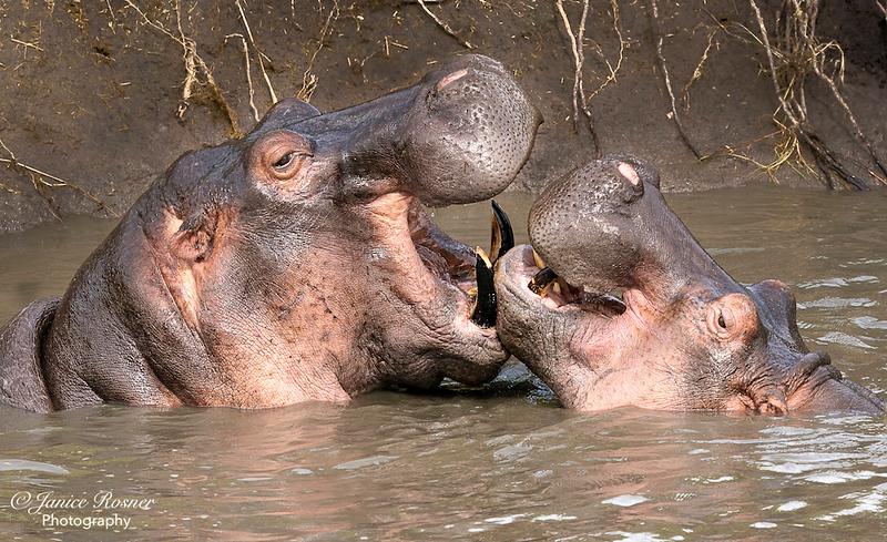 Smiling Hippos