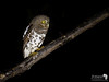 The Tiny African Barred Owlet