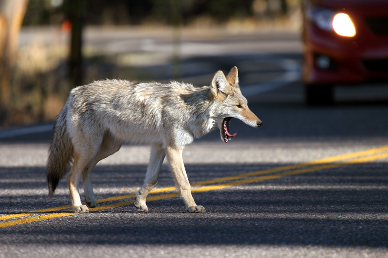 Coyote crossing the road - Hayden Valley - Yellowstone National Park, Wyoming