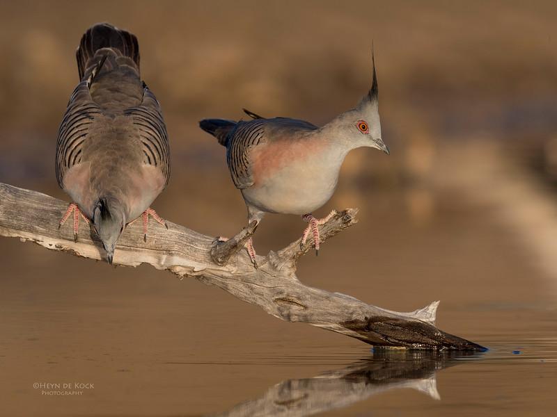 Crested Pigeon, Bowra, Cunnamulla, QLD, Aus, Sept 2017-3.jpg