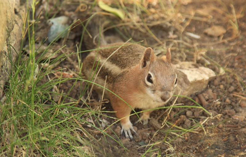 Chipmunk squirre.00104.jpg