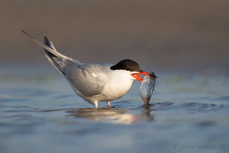 Common Tern Adult wtih fish