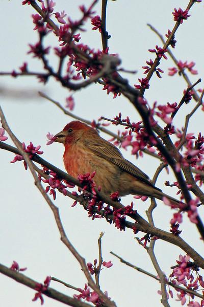 2009-03-02 Redbird on Redbud