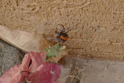 Un-identified Redback Spider