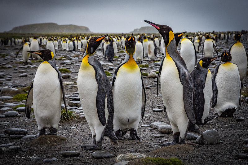 Penguins standing in the rain.jpg