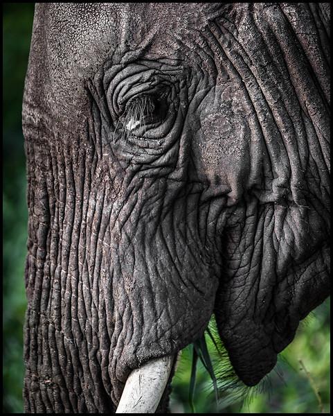 Elephant, Tarangire NP