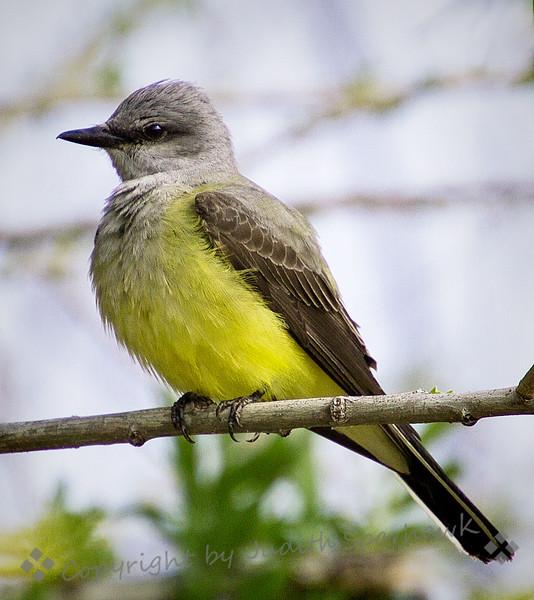 Western Kingbird - Judith Sparhawk