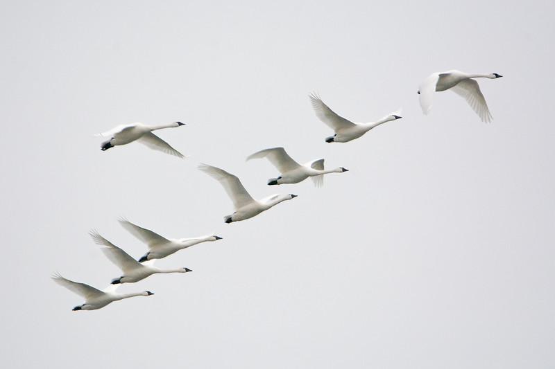 IX1974 8 Swans a'Flyin.jpg