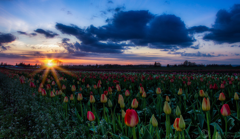 Sunstar and Tulips