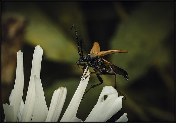 Gewone smalboktor/Red-brown Longhorn Beetle