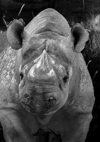 DSC_4962 Rhino ss shrmvd BkGrnDrk crpd BW  MALA PS-.jpg
