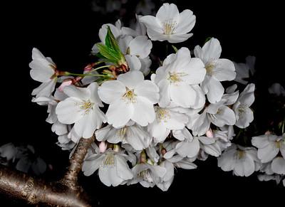 Cherry Blossom Festival 2014 (complete set)