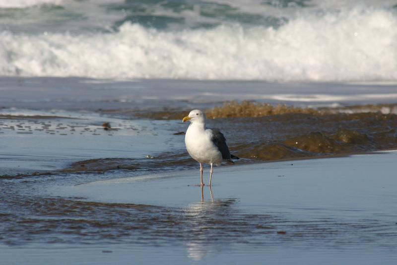 Wave-watching gull.