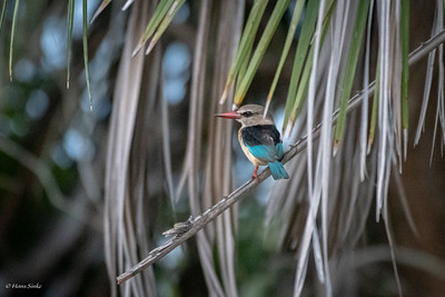 Kingfisher, Brown-hooded (spp. orientalis)