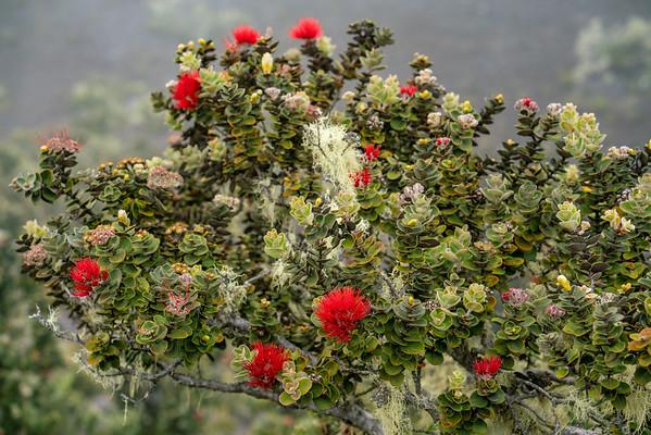 ʻŌHIʻA LEHUA (metrosideros polymorpha)