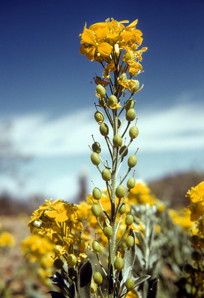 Silver Bladderpod (Lesquerella argyraea) Big Bend National Park, TX, 1958
