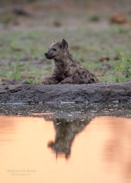 Spotted Hyena, Sabi Sands (EP), SA, Oct 2016-2.jpg