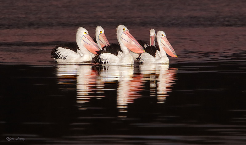 Pelicans at night MASTER.jpg