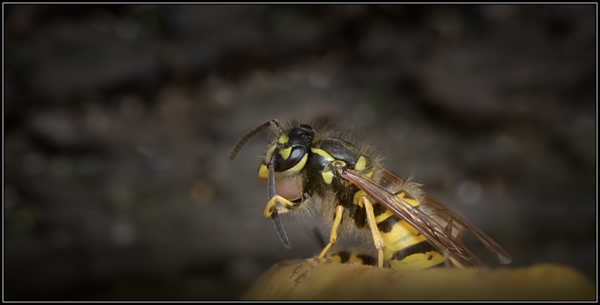 Duitse wesp/German wasp