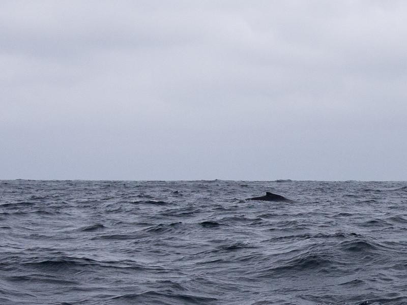 manta whale.jpg