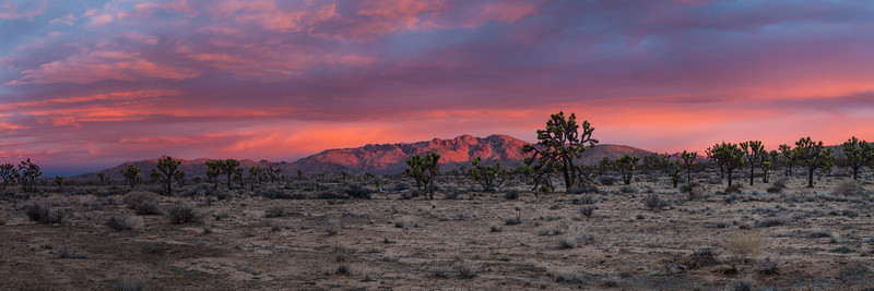 Joshua trees at sunrise. Joshua Tree National Park. This is a 5 shot panorama