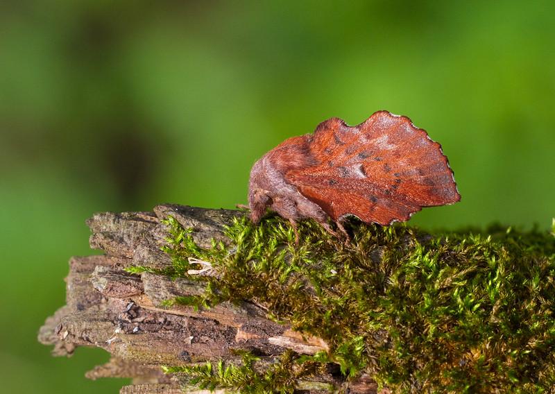 Phyllodesma americana American Lappet Moth 7687 Family Lasiocampidae Skogstjarna Carlton County MN  IMG_0750.jpg