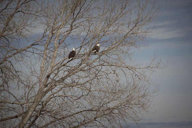 Eagle double-7247.jpg