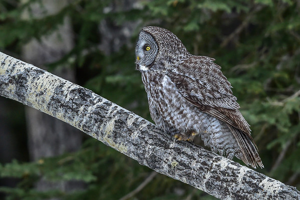 3-14-16 Great Gray Owl - Pt. 3