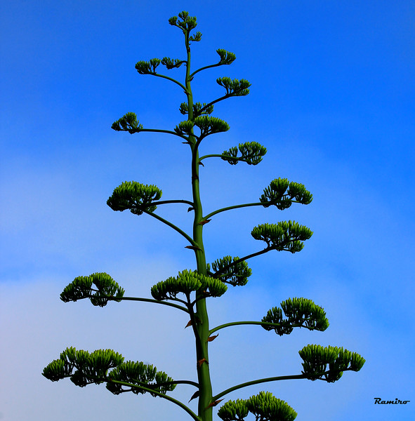 Century Plant1 6-25-15 040.jpg