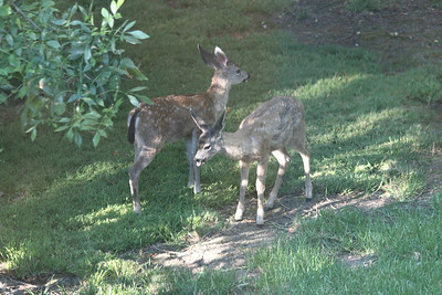 Fawn sibblings in dawn light