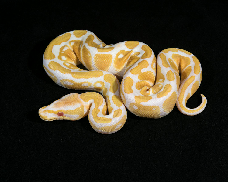 Albino F0314, sold Toney