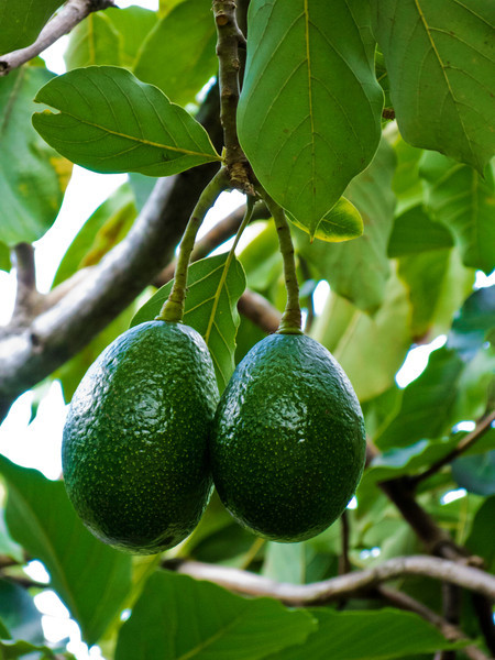 Gorgeous avocados growing at Greewell Farms