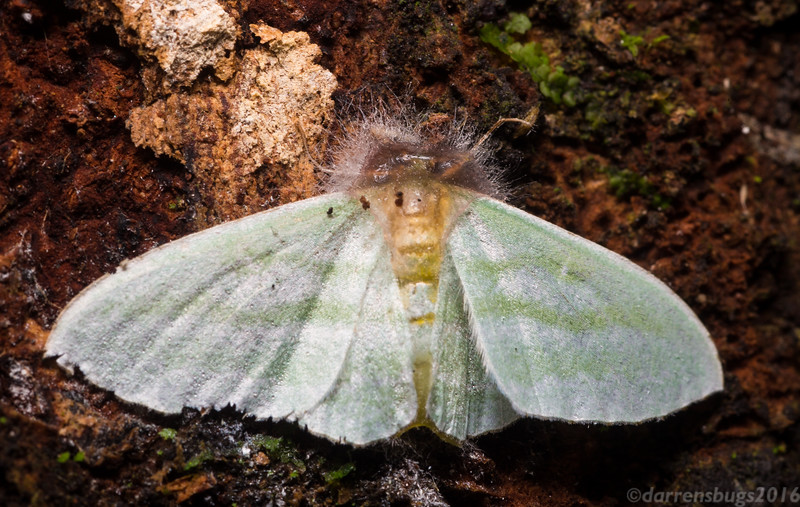 Moth attacked by parasitic fungus in Belize.