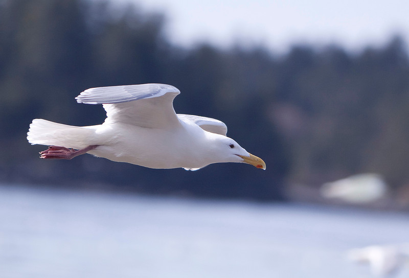 Gull in Flight 2.JPG